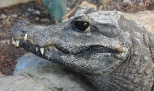 croc61mod