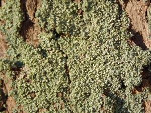 lichen05green