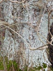 lichen07tree