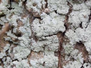 lichen08