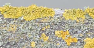lichen10